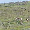 Pronghorn Fawn and Doe