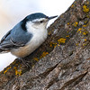 White Breasted Nuthatck