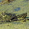 Camoflaged by Duckweed