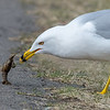 Unfortunate Crayfish and Ring-billed Gull