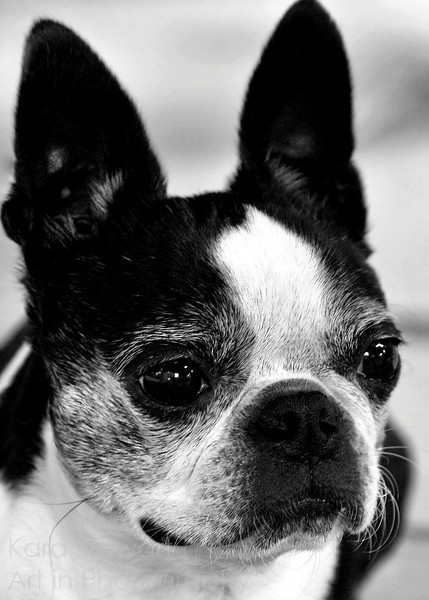 July 20, 2011<br /> <br /> And another shot of Emily, my sister's Boston Terrier.<br /> <br /> Thanks for all your comments and thoughts!<br /> <br /> UPDATE:<br /> <br /> EDITOR'S PICK, betterphoto.com, July 2011, Animals
