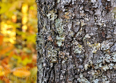 November 17, 2011  Lichen It  Took this a few days ago in my back yard.   I loved the lichen and also the golden fall colors in the background.  My blog:  http://www.karastewartaip.blogspot.com/  UPDATE:   Editor's Pick, betterphoto.com, November 2011, Nature & Landscapes