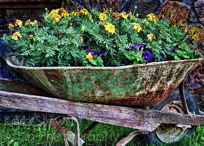 October 9, 2011  Wheelbarrow  This is another from the archives, that I am just now (years later) having a chance to get to!  I took this on my trip to Cullowhee, NC a few years ago on an NCCAT (North Carolina Center for the Advancement of Teaching www.nccat.org) workshop. They gave us 35mms to work with for the time we were there, so this was taken with their 35 mm.   Today I played with that 35mm image, just fooling around with software. I liked the general idea of the original image, but the wheelbarrow of flowers just kind of blended in with the background of stone and wood, since they all have a lot of pattern and texture. So I just used it to play with today. I applied Topaz Adjust's Spicify filter, which plays up texture and color, and then burned the wood and stone in the background to darken it a bit so that the wheelbarrow stood out more. Not really happy with it, but hey, it was for play and practice!  :)  Thanks for your comments this week on kids and dogs and Mandolin!  Oh! And check out my blog if you have a chance. The story winner, based on daily photog Janet McQueen's photo has been chosen!  Great short story and great image, Janet!  http://www.karastewartaip.blogspot.com/  UPDATE:  EDITOR'S PICK, betterphoto.com, October 2011, Flowers