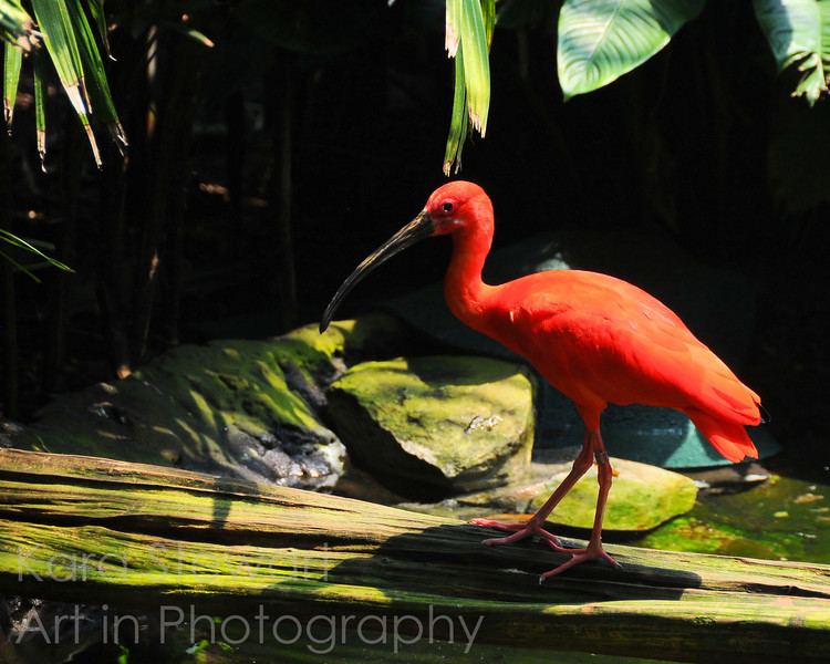 June 20, 2010  Glow  This is a scarlet ibis, also from our zoo trip.