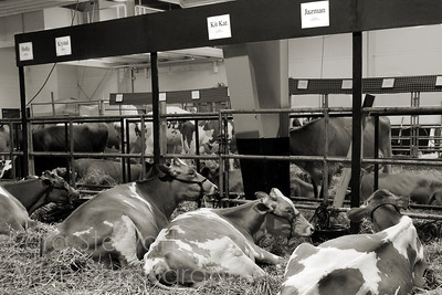 November 3, 2010  Fair Ladies  Also from the NC State Fair last month.  I'm still processing a lot of these - takes a while!  I did this one in black and white, thinking that it would make it less distracting to focus on the cows in the foreground and their name signs. I pumped up the sharpness and contrast on the signs to make them readable (to me, the cows all laying in a row with their names above them was the main point of the shot) and then darkened and slightly blurred the area behind the fence.   So sorry I haven't had time to check out your shots this week yet!  I do appreciate your thoughtful comments on my dailies this week.  Hump day! Have a great one!