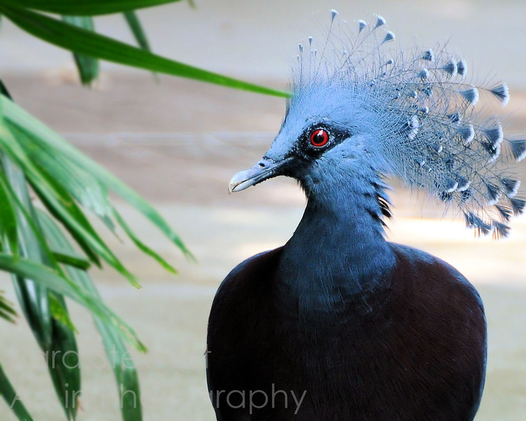 June 21, 2010  Victoria Crowned Pigeon from our zoo trip