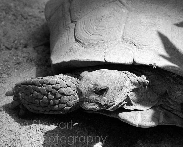 June 23, 2010<br /> <br /> Desert Tortoise from the trip to the NC Zoo.  Thanks for all your comments yesterday!<br /> <br /> Update:<br /> <br /> EDITOR'S PICK, betterphoto.com, June 2010