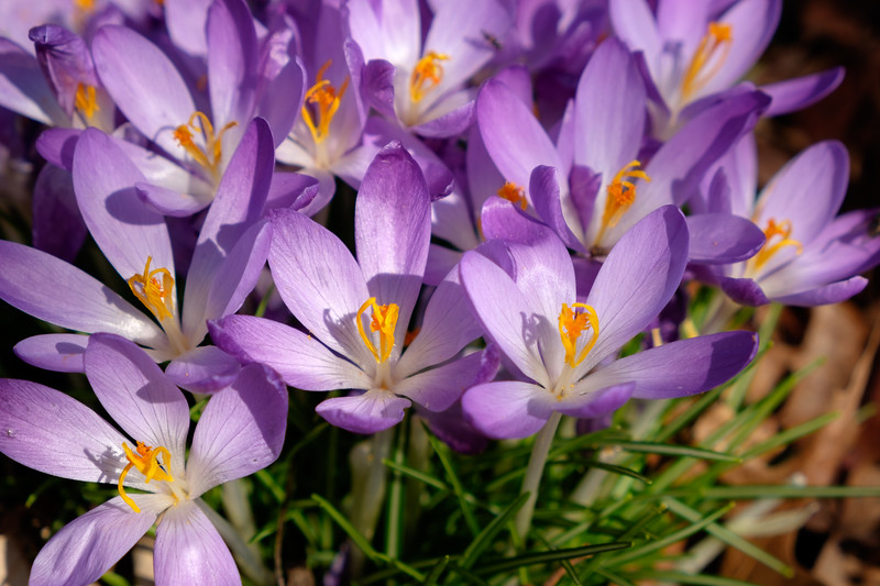 purple_crocus-3064