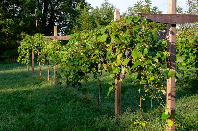 vineyard-0761