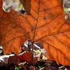 sycamore_leaf-2844