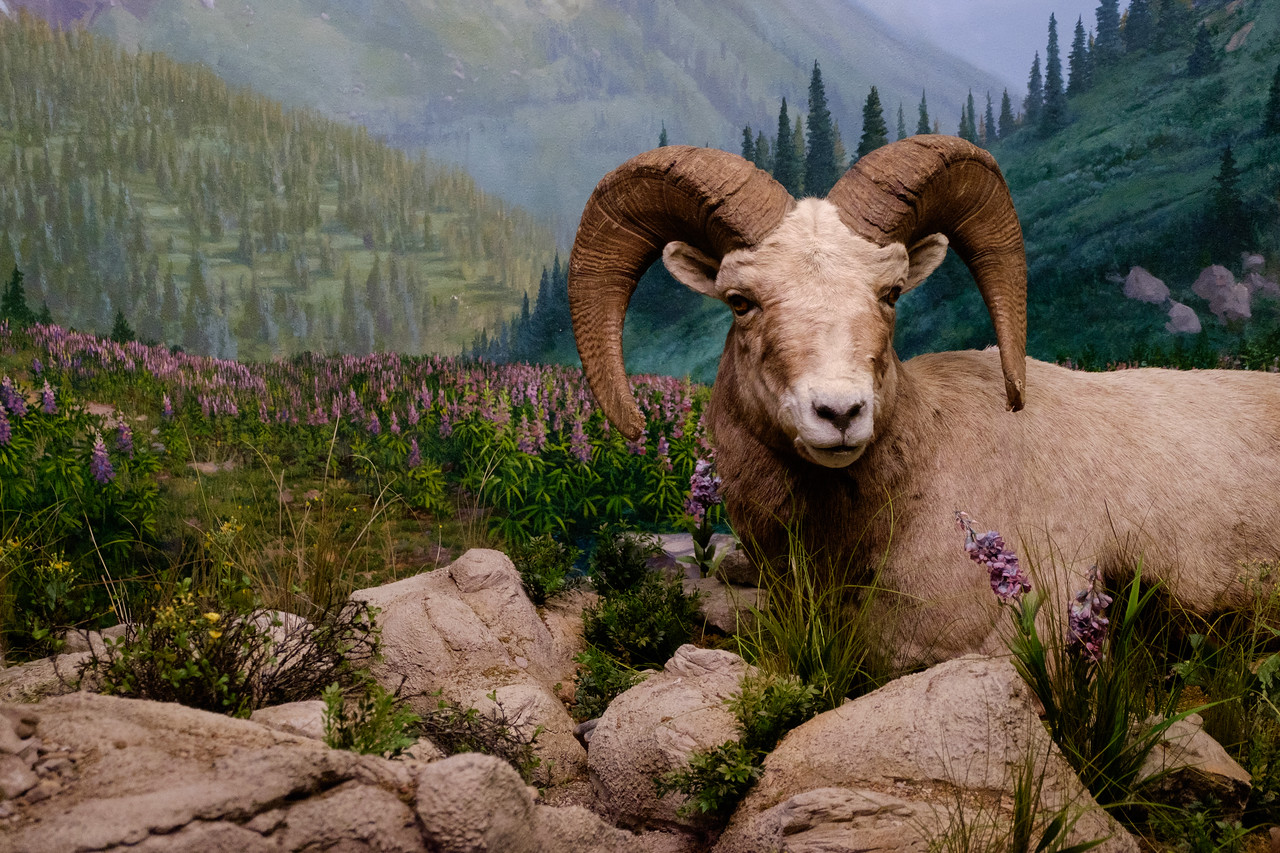 wow_mountain_sheep-3004