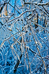 Frozen Branches_9747
