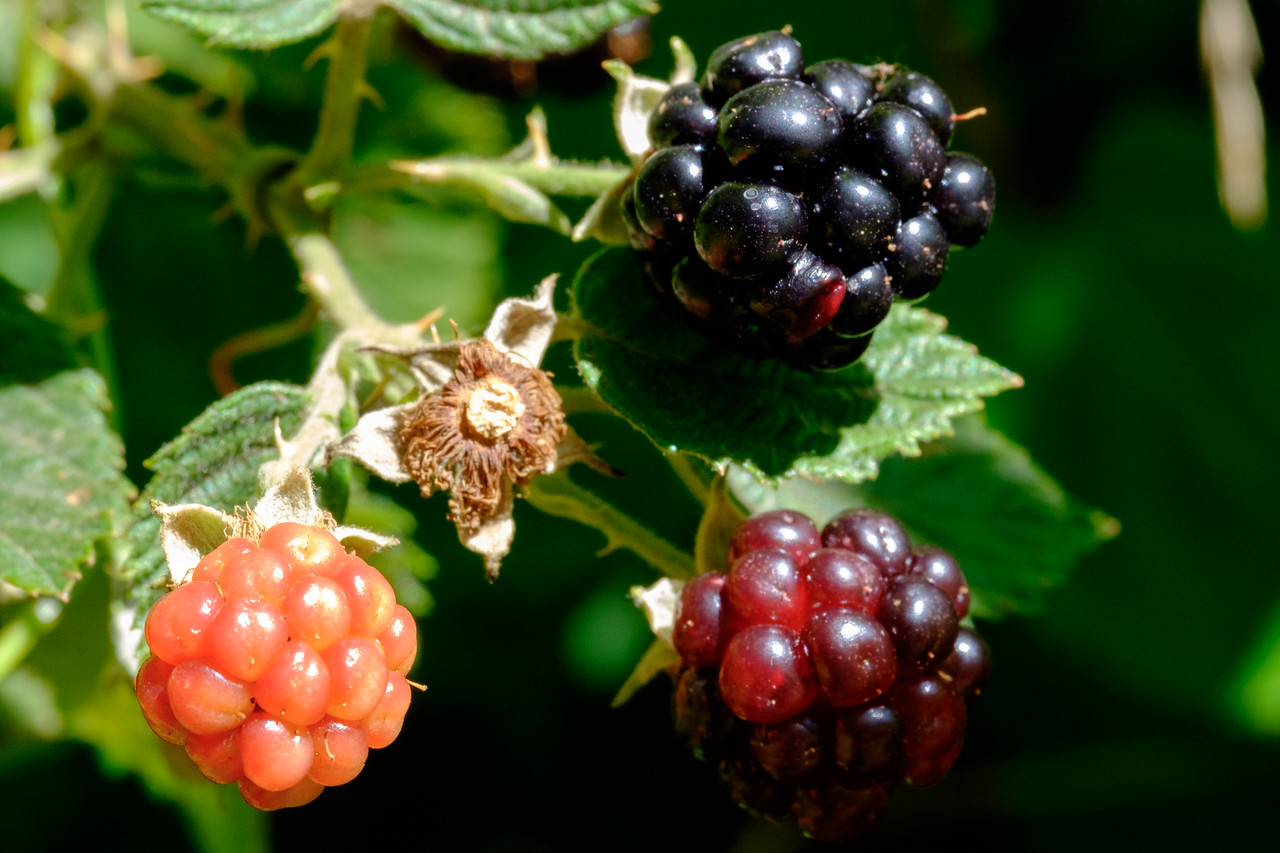blackberries-0560