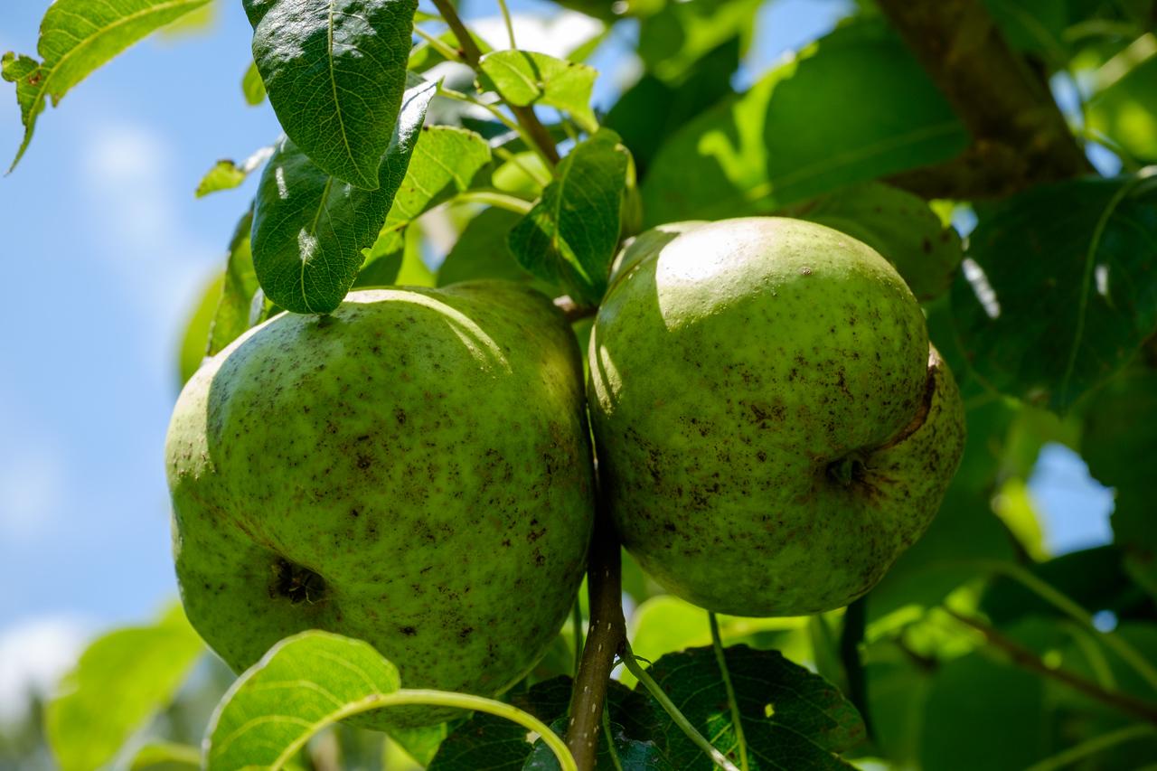 pears-0567