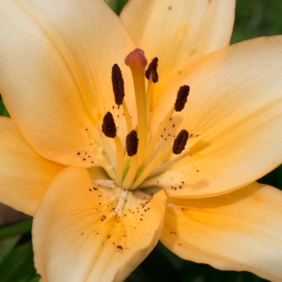 Peachy Asiatic lily in Rita's flower garden.