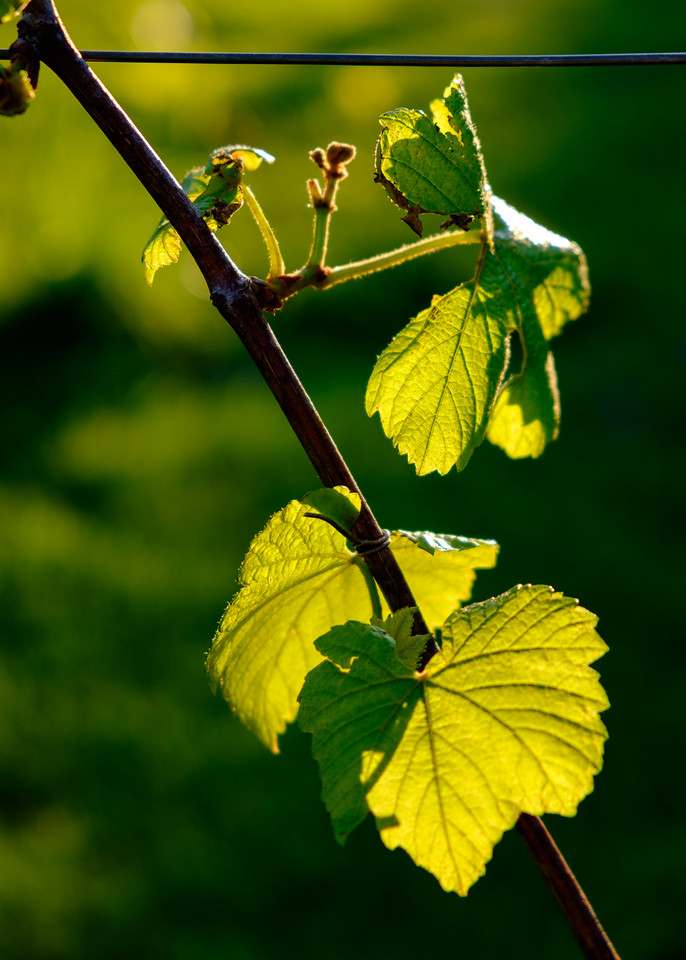 grape_vine-0097