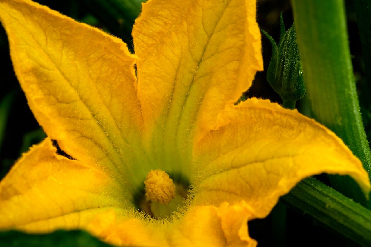 squash_blossom-0398