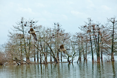 Two Canada Geese Bald Cypress Trees Toledo Bend Reservoir Texas_0993