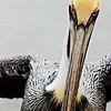 Pelican Fairhope Municipal Pier Fairhope AL_0695