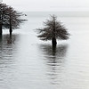 Bald Cypress Trees Toledo Bend Reservoir Texas_0975
