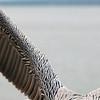 Pelican Wings_0732