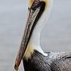 Pelican Fairhope Municipal Pier Fairhope AL_0710