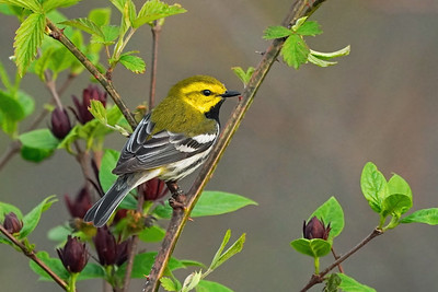 Black-Throated Green Warbler on Sweet Shrub