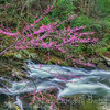 Red Bud on Laurel Creek