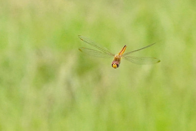 Globe Skimmer Dragonfly aka Wandering Glider