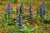 A Forest of Carpet Bugle (ajuga)