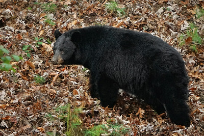 Black Bear Sow 2020