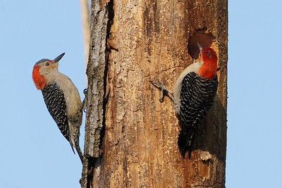 Red-bellied Woodpecker pair