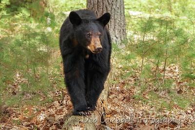 Young Bear log walker