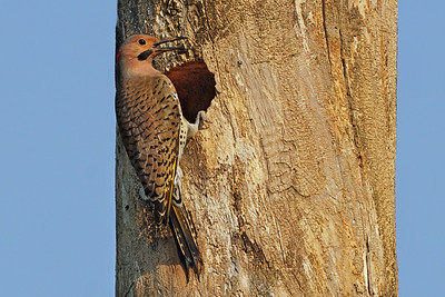 Norther Flicker (male)
