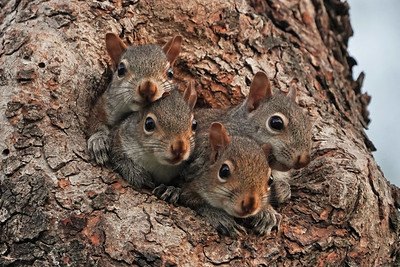 Eastern Gray Squirrel Kits