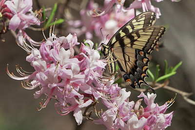 Tiger swallowtail on Pinxster