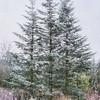 Three Sister Pines