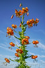 Wild Turks Cap Lily