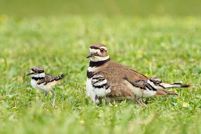 Killdeer Family