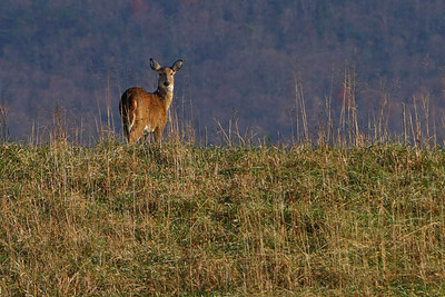 Doe on a Hill