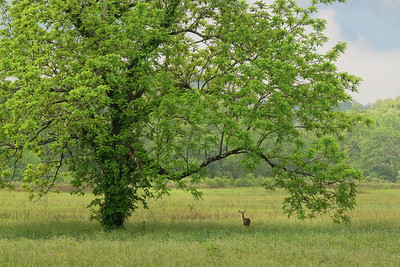 Deer at the Walnut Tree