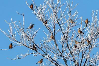 Flock of American Robins