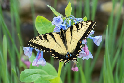 Tiger swallowtail on the bluebells
