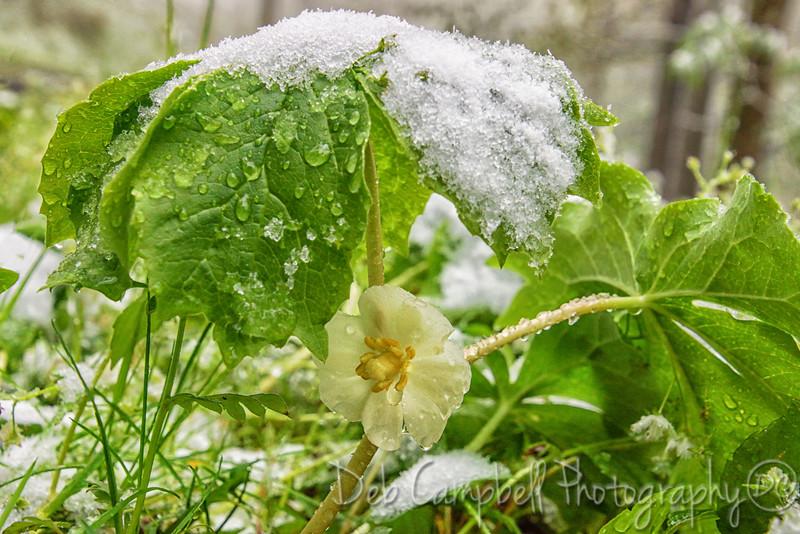 Mayapple Bloom