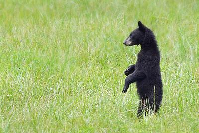 Yearling Cub