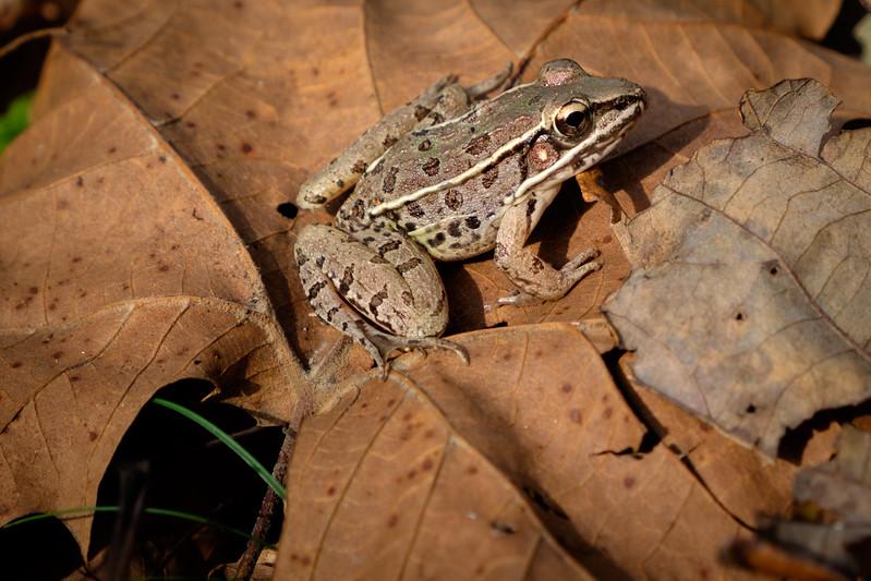 frog-2630