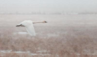 Swan Speeding South