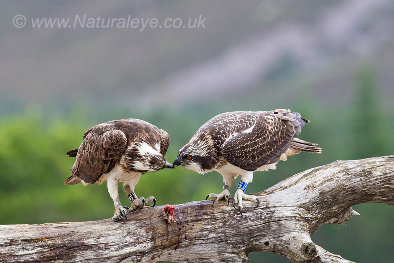 Female Osprey feeding newly fledged chick