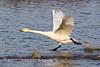 Whooper Swan Takeoff