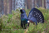 Capercaillie displaying
